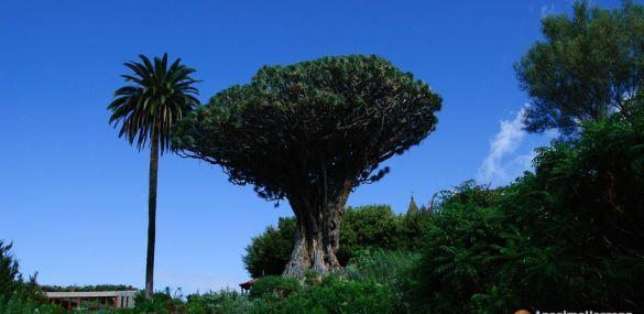 Visitar el Drago Milenario en Icod de los Vinos – Tenerife