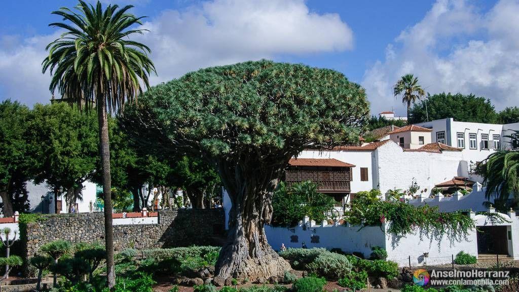 Drago Milenario desde el interior del Jardín Botánico de Icod de los Vinos - Tenerife