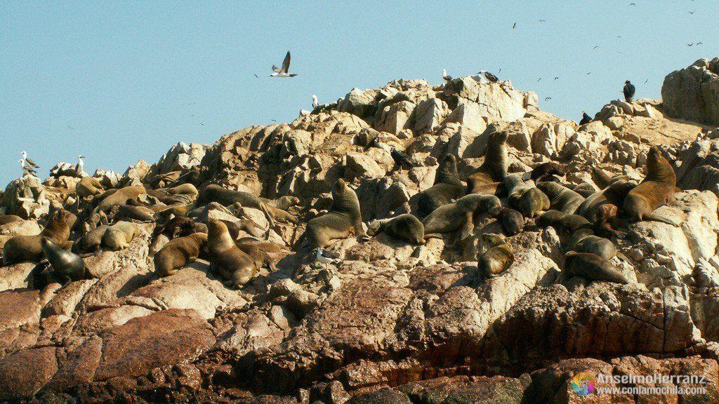 Lobos marinos en las Islas Ballestas - Ica - Perú