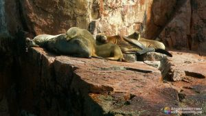 Lobos marinos - Ilhes Ballestas