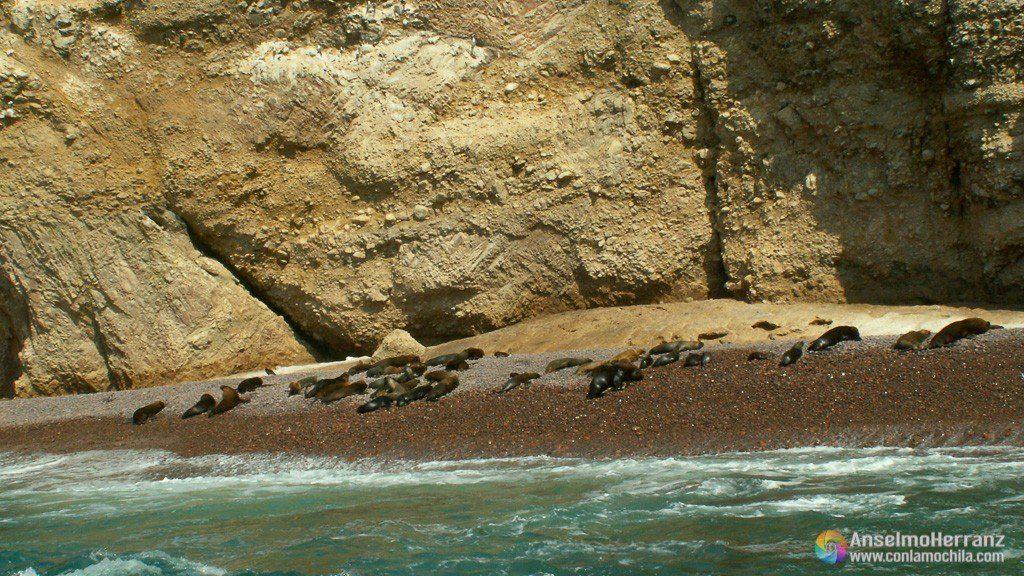 Lobos Marinos tomando el sol en las playas de las Islas Ballestas - Ica - Perú