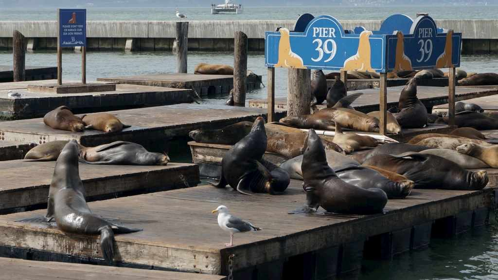 Focas en el Pier 39 - San Francisco - EEUU