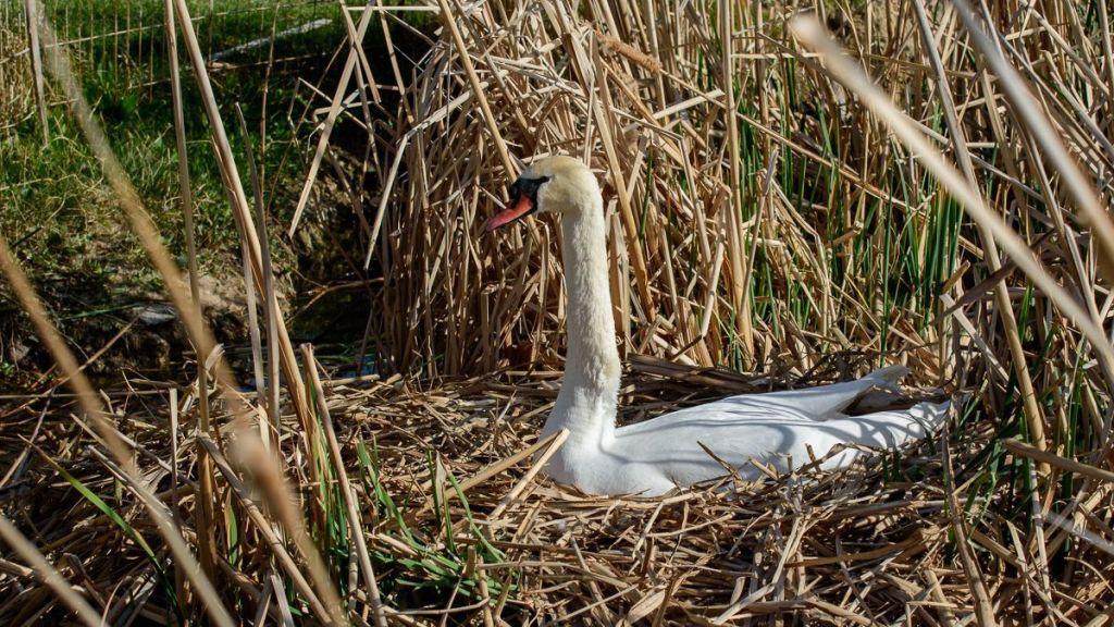 Hembra de cisne blanco en el nido de junco - Charca de Ochando - Segovia