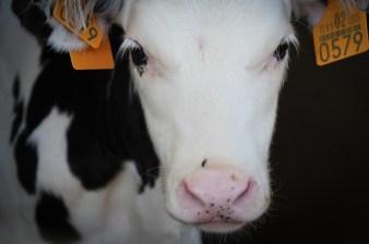 jmcarthur_dairyvealfarm_-1663-2