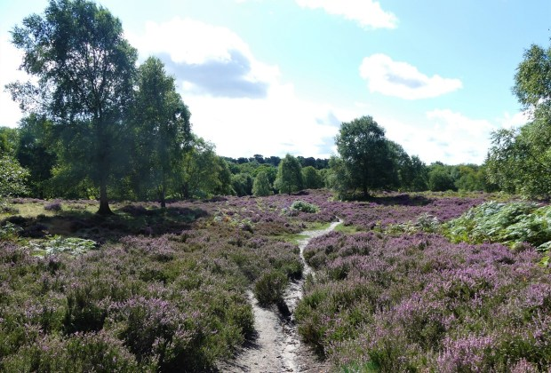 Heathland at Rushmere Country Park (Credit; Greensand Country)-08d2c688
