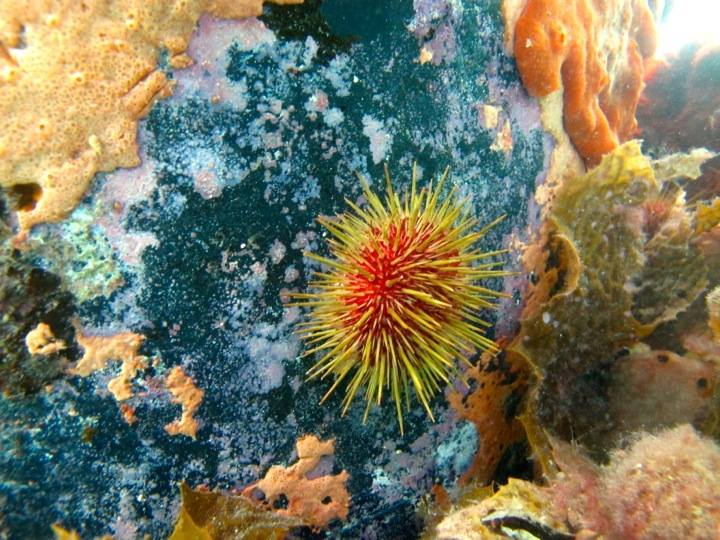 A vividly coloured sea urchin.  Image: Cathy Cavallo