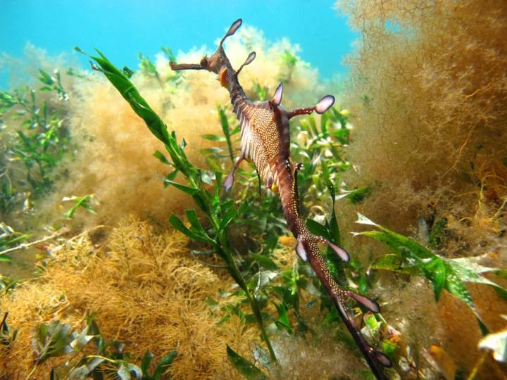 Victoria's marine state emblem, the weedy seadragon. Image: Cathy Cavallo