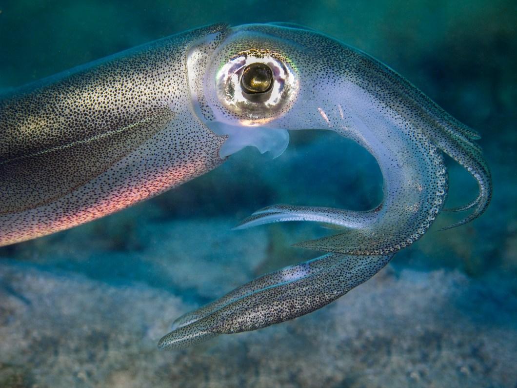 Calamari Squid at Blairgowrie Pier.jpg