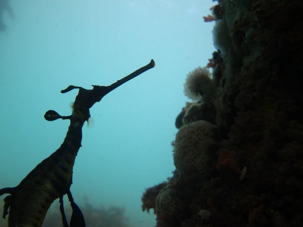 CCavallo_Portsea_Weedy sea dragon