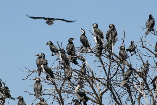 little pied cormorants
