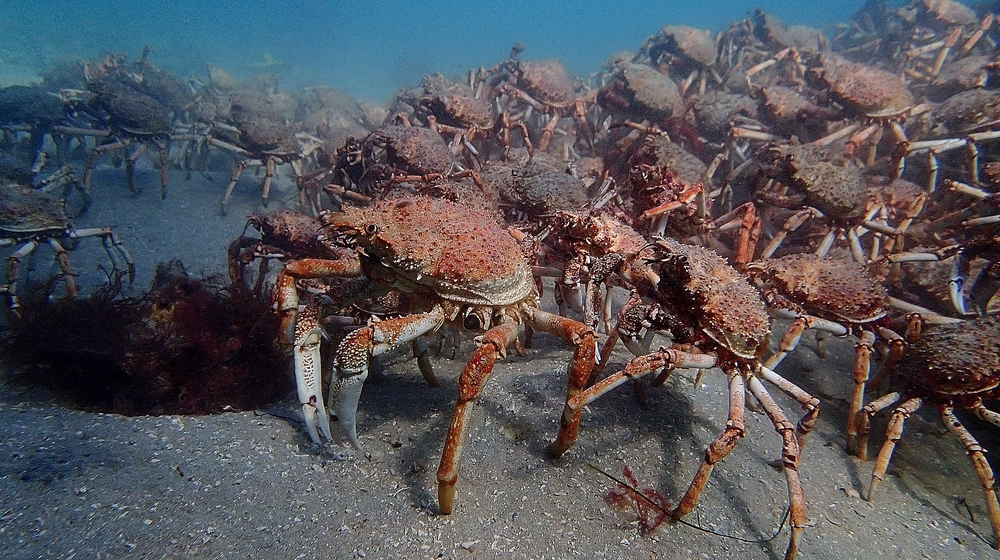 giant spider crabs forming aggregations