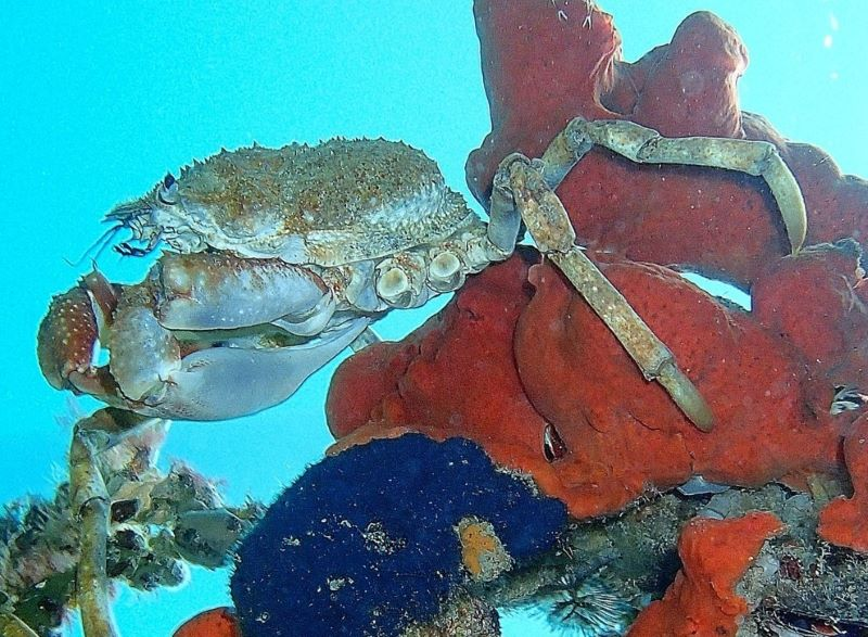 giant spider crab among colourful corals