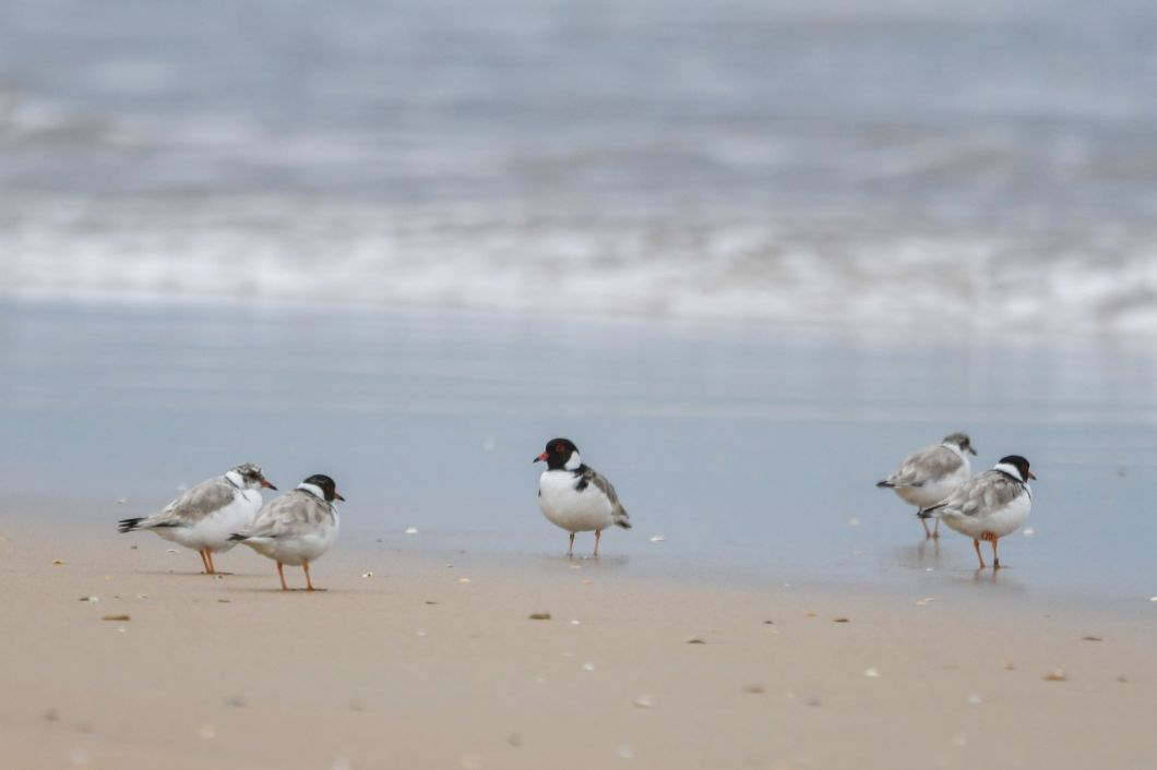 Hooded Plovers gathered at the shoreline. Image: Carole Poustie