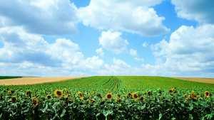 ConnectFood sunflower-field