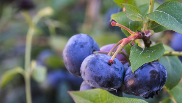 New Research Shows Wild Blueberries May Help Wounds Close Faster