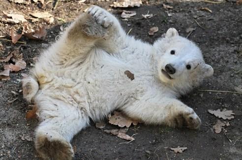 http://www.buzzfeed.com/samstryker/polar-bears-are-drunk#.ruzQ7vVblQ