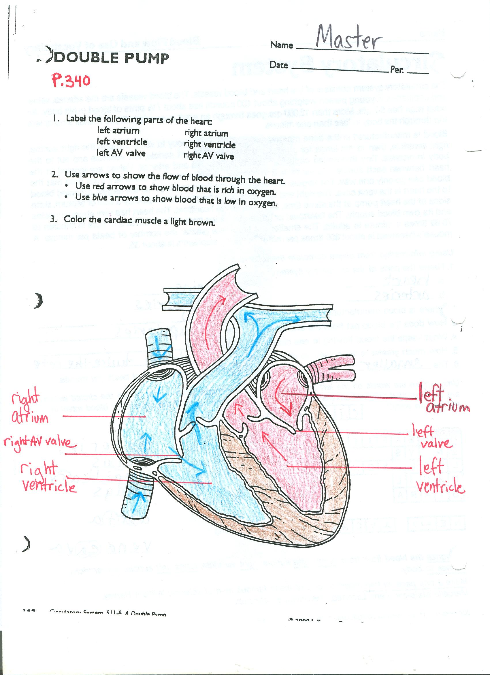 Diagram Of The Circulatory System