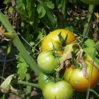 Love and Green Tomatoes...