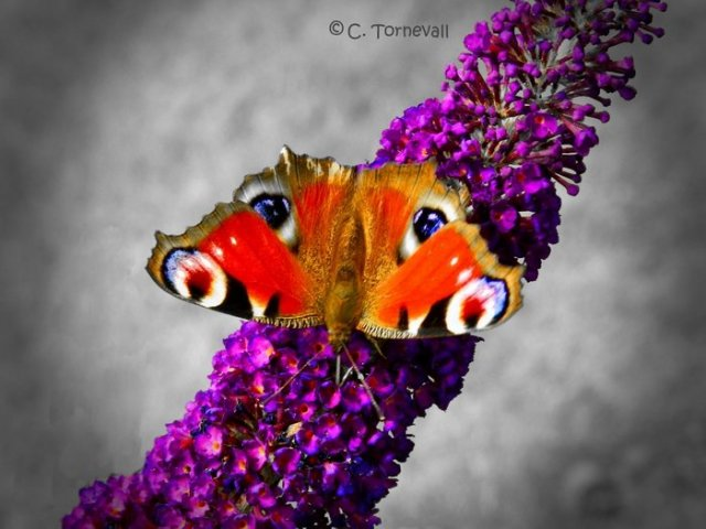 Småkryp Fjäril