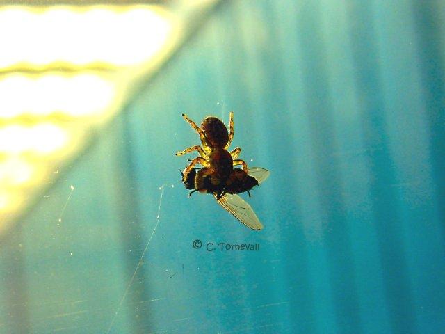 Småkryp spindel fluga