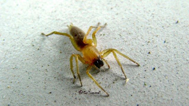 Småkryp spindel gul