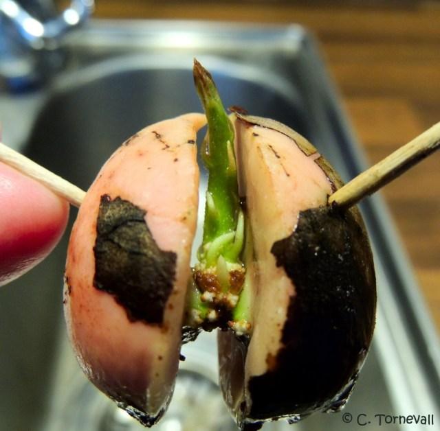 Avocado 05