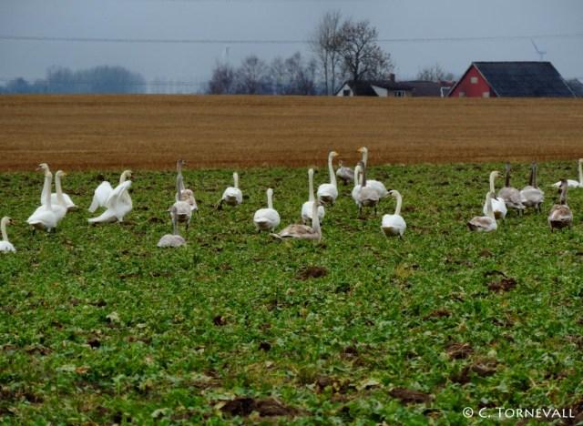 04 Fåglar svanar mellan Ängelholm och Klippan 06