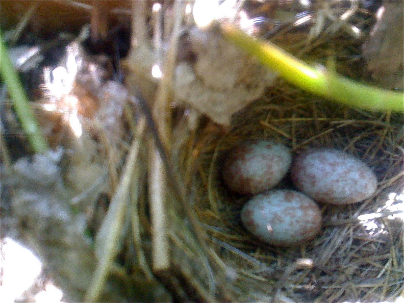 three wren's eggs in a nest on the ground in the strawberry patch