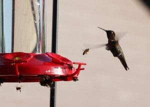Hummingbirds, Bees, Feeder, Randy Cockrell