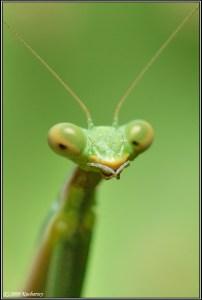 Locust, Dark-Raptor