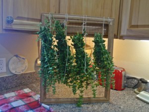 Oregano on Drying Rack