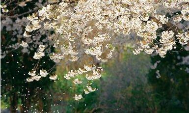 pétalos de cerezo cayendo