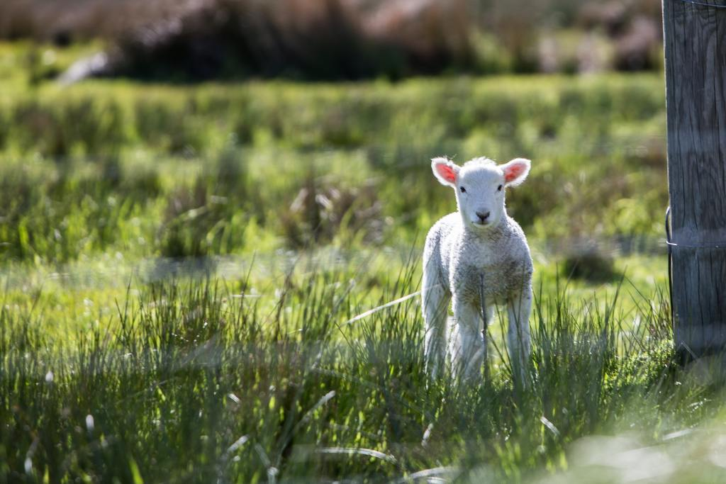 Baby lamb standing in grass looking on | Spring seasonal junction rebirth | Conscious Content