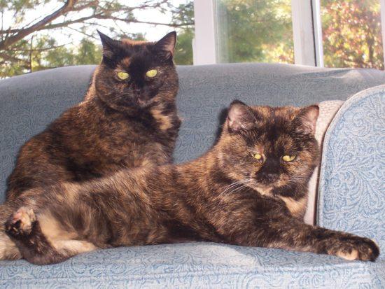 tortoiseshell-cats
