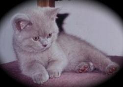 Bentley kitten