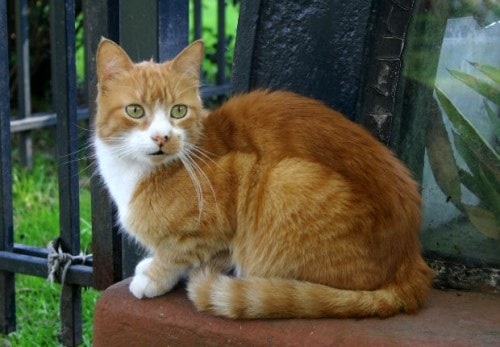 orange and white male cat
