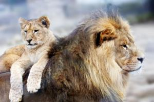 Lion father and lion cub