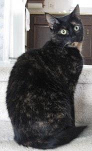 tortoiseshell cat on stairs