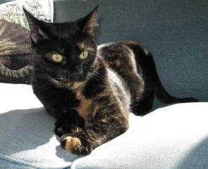 tortoiseshell cat in the sun