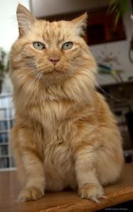 Bob Dole longhaired orange cat