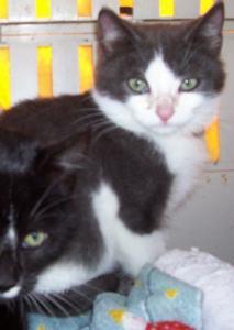 tuxedo black and white kitten