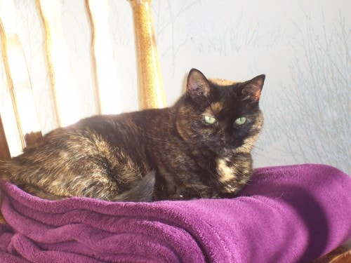 tortoiseshell cat purple blanket