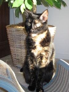 Allegra tortoiseshell cat in the sun