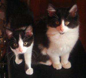tuxedo cat and kitten
