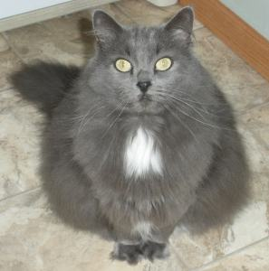 grey-long-haired-cat