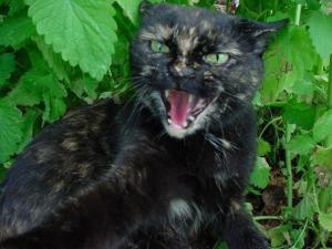aggressive-tortoiseshell-cat