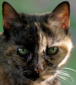 cookie-tortoiseshell-cat-close-up