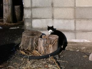 Japan Cat Network cat in Fukushima