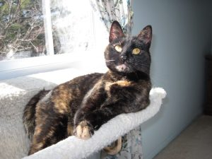 tortoiseshell_cat_by_window