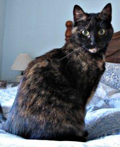 Tortoiseshell_cat_on_bed